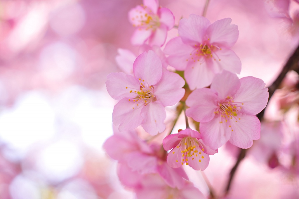 Sakura-Wallpapers-tree-branches-pink-flowers-petals-blurring.jpg